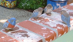 Bluebirds pecking on bricks